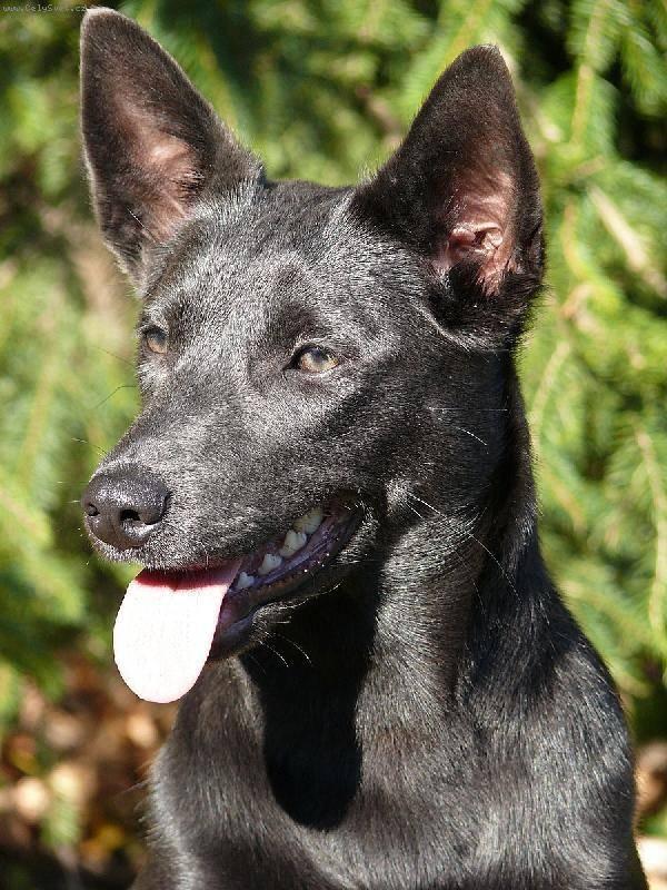 Келпи порода собак. описание, особенности, уход и цена келпи