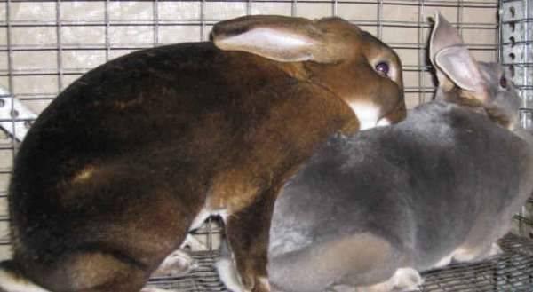 Почему крол не хочет покрывать крольчиху - мечети мира