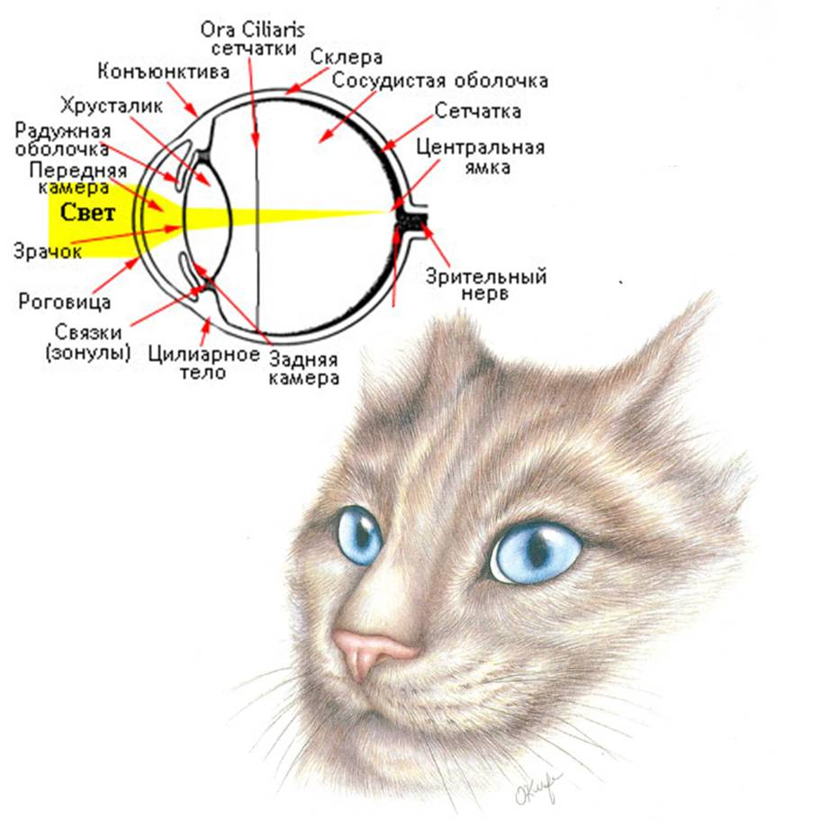 Как видят кошки: в каком цвете и особенности анатомии глаз