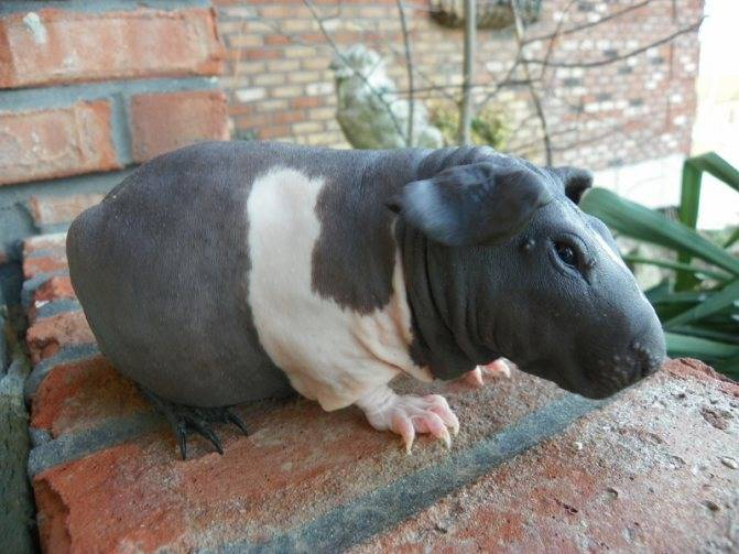 Свинка скинни: дружелюбный и благодарный питомец