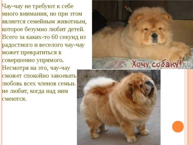 Независимость и гордость: знакомство с породой собак чау-чау