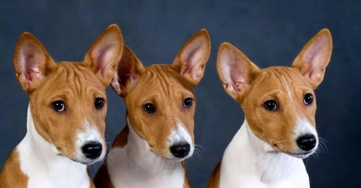 Собаки которые не лают с фото, названиями, описание,