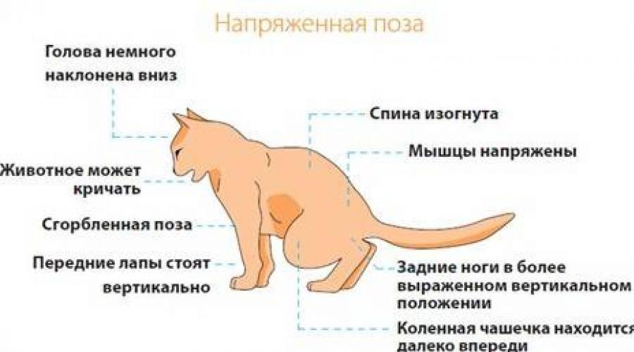 Симптоматика цистита у котов: способы самостоятельного лечения дома
