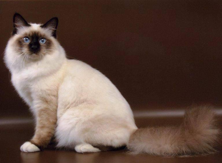 """Бирманская порода кошек: происхождение породы """"священная бирма"""" и ее описание"""