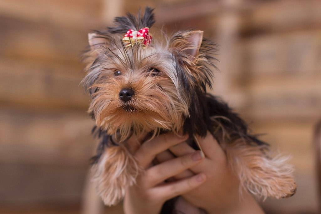 Средние стандарты продолжительности жизни собак породы той терьер дома