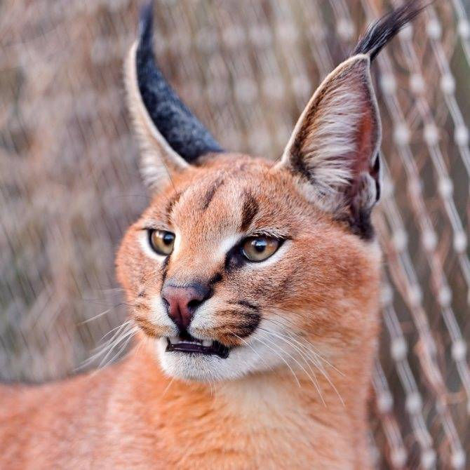 Каракал пустынная рысь: описание и уход за степным котом