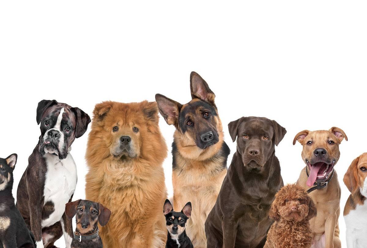 Собаки-разрушители: 11 пород, которые не подходят для квартиры