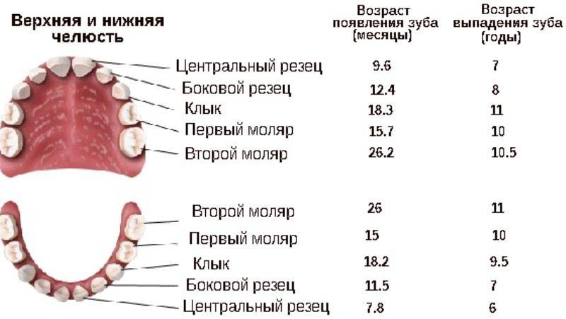 Смена зубов у щенков: все особенности сложного периода