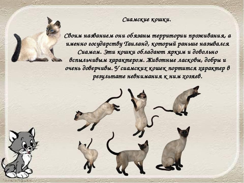 Сиамская порода кошек: описание породы и особенности характера, чем отличается характер кота от кошки