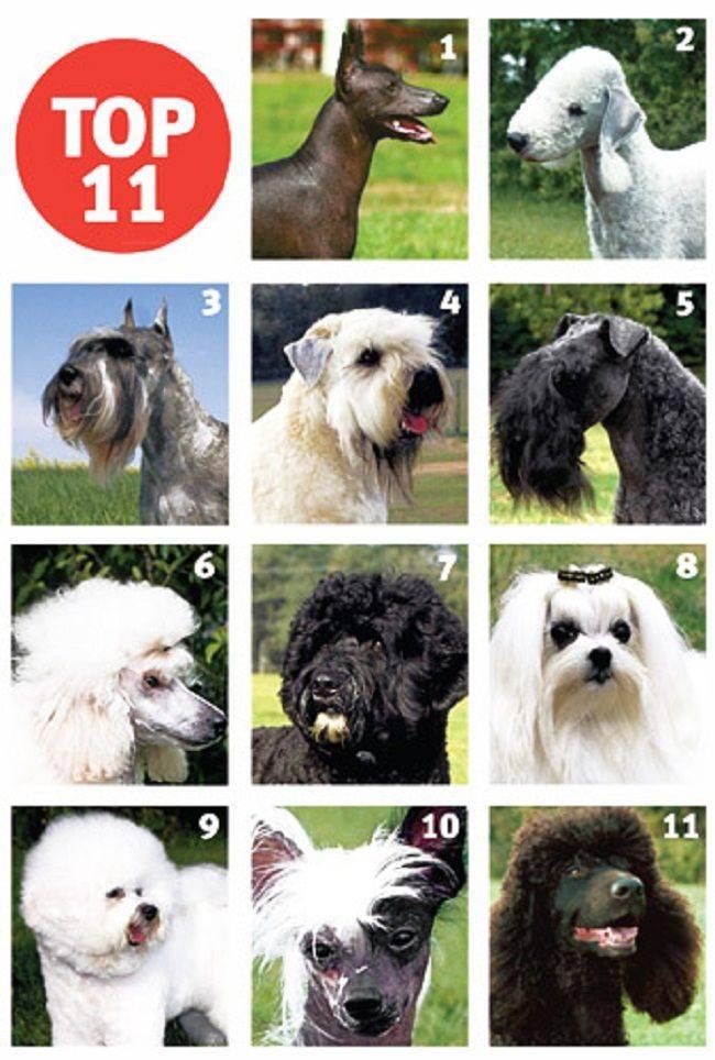 15 лучших пород собак: для детей, для аллергиков, для маленькой квартиры