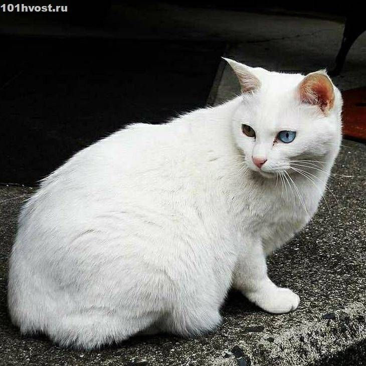 Европейская короткошёрстная кошка