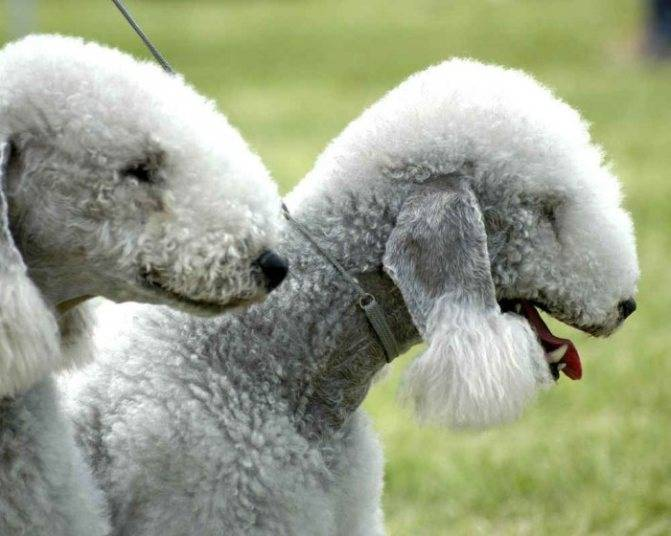 Все о породе собак бедлингтон-терьер - описание, характер, характеристика, фото бедлингтон-терьеров и видео, цена