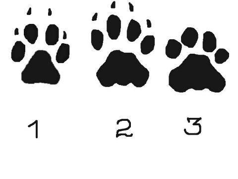 Следы собаки – как они выглядят и как их отличить от волчьих следов