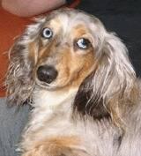 Длинношерстная такса: фото, описание породы, характер, щенки