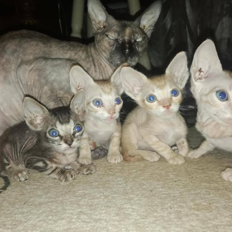 Сюрпризы генетики: помесь сфинкса и обычной кошки