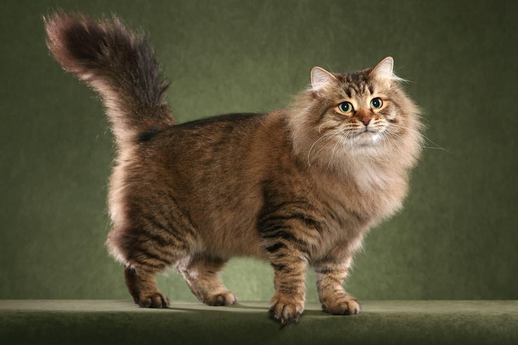 Российские породы кошек