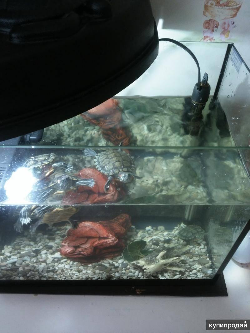 Красноухая пресноводная черепаха в природе и в домашних условиях