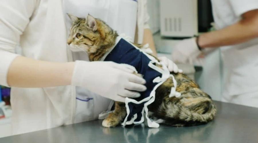 Как ухаживать за кошкой после стерилизации по дням - love cats