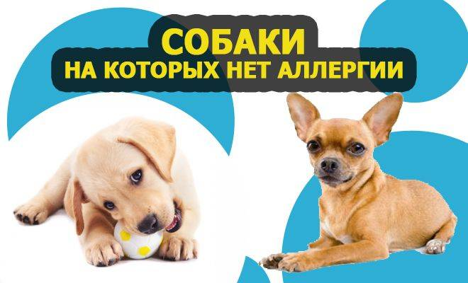 Собаки, на которых нет аллергии на шерсть у человека – породы