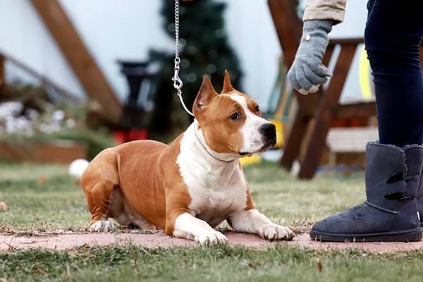 Чем кормить стаффордширского терьера – выбор типа питания для щенка и составление рациона