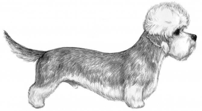 Денди-динмонт-терьер (28 фото): описание породы, характер собак. виды стрижек. особенности содержания щенков