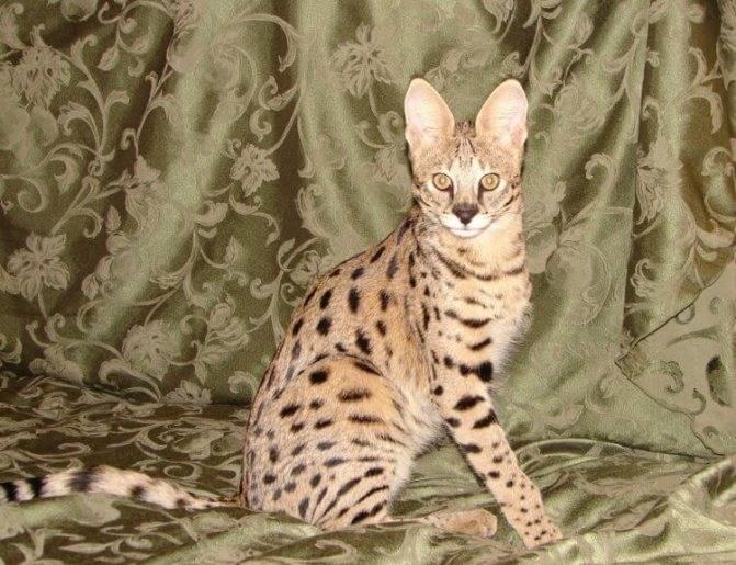 9 пород кошек пятнистого окраса для тех, кто хочет завести домашнего леопарда