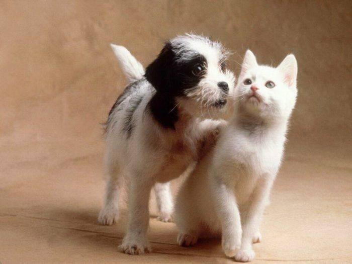 Советы профессионалов как подружить кошку и собаку