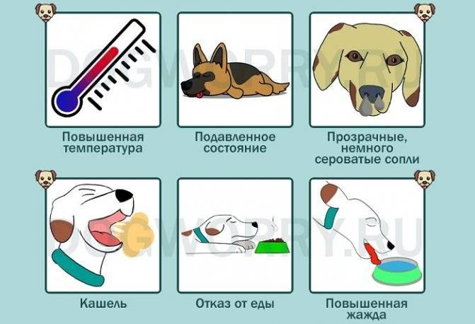 Почему собака чихает и фыркает: что-то попало в нос или есть опасное заболевание? помощь животному и необходимость обращения к ветеринару