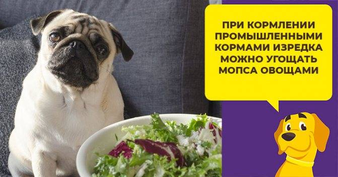 Чем кормить щенка мопса 2 месяца: какие продукты можно, а какие нельзя