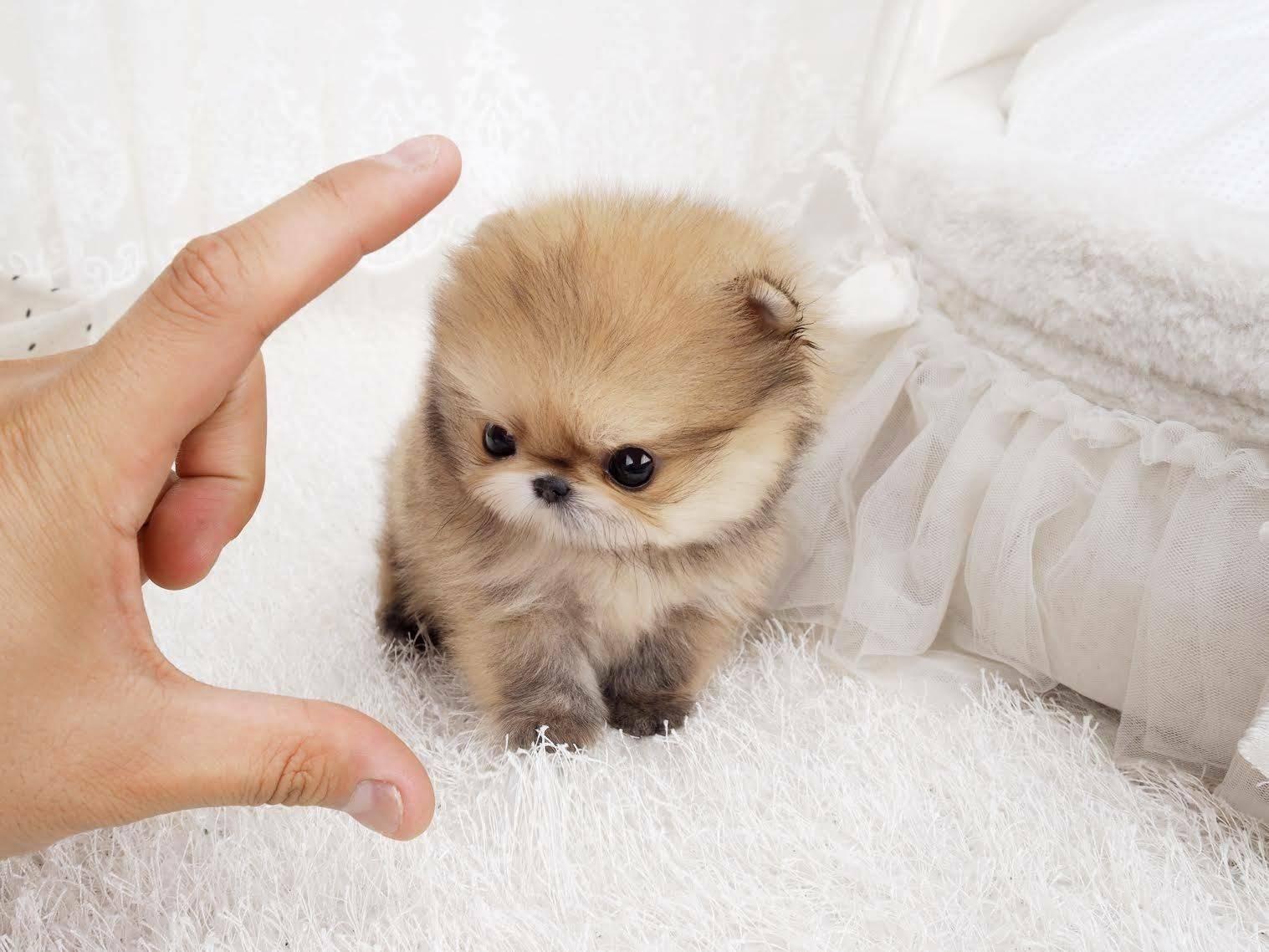 Собаки маленькие пушистые: породы собак с фотографиями