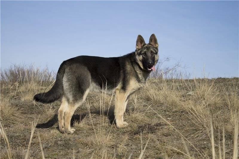 Восточноевропейская овчарка: описание породы - моя собака
