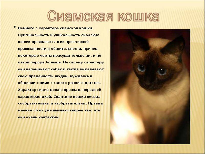 Сиамские котята: описание, цена, фото, видео, уход, отзывы