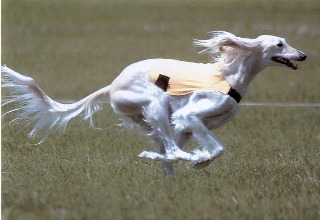 Самые быстрые породы собак – список, описание, максимальная скорость, фото и видео