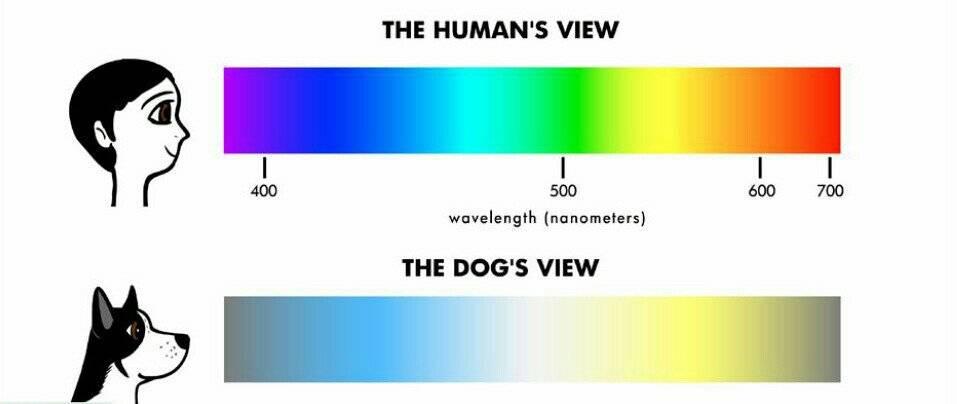 Как видят собаки? собаки различают цвета? описание, сравнение с человеком, фото и видео  - «как и почему»