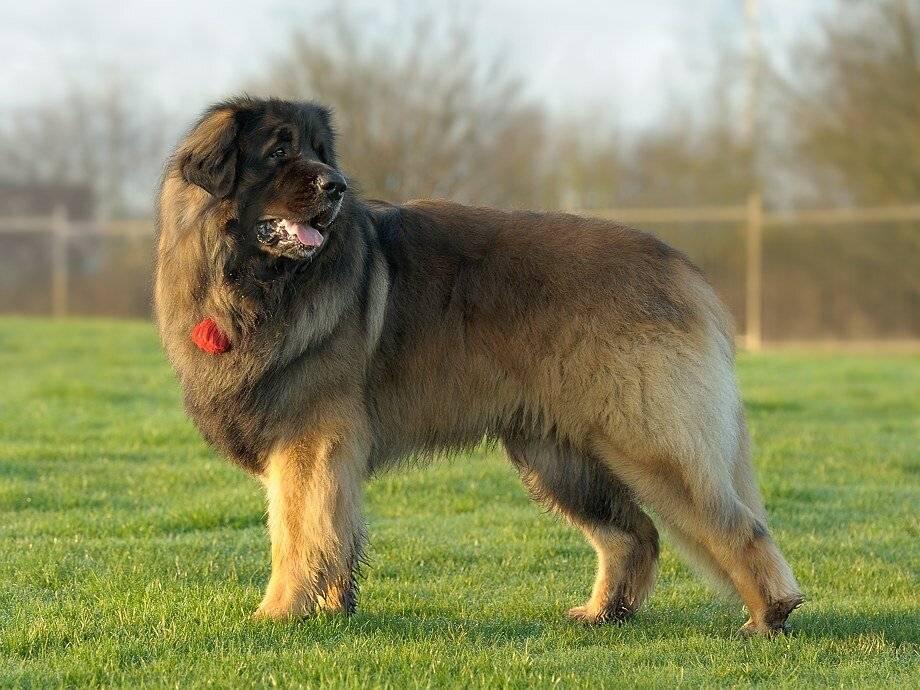 Собака леонбергер - описание породы и характер