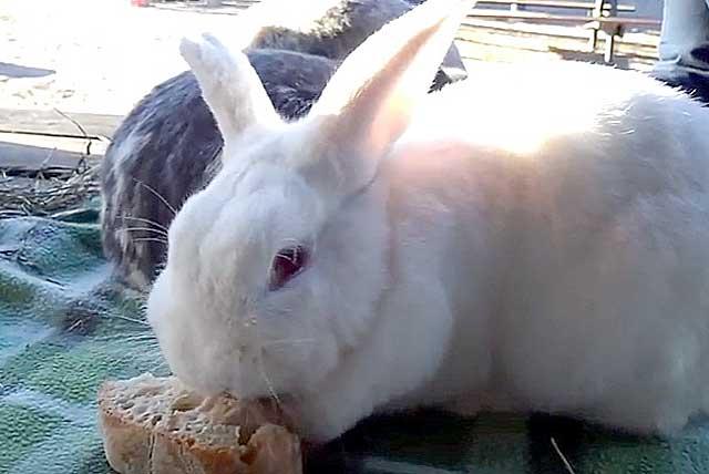 Кормим кролика хлебом правильно. советы по кормлению