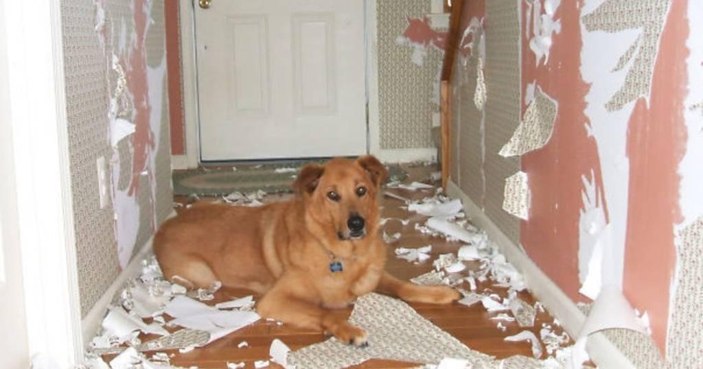 Как отучить собаку грызть вещи в отсутствие хозяина