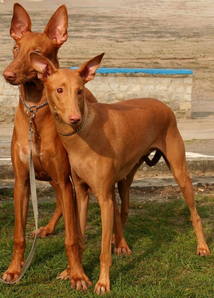 Фараонова собака: история и описание породы, особенности содержания