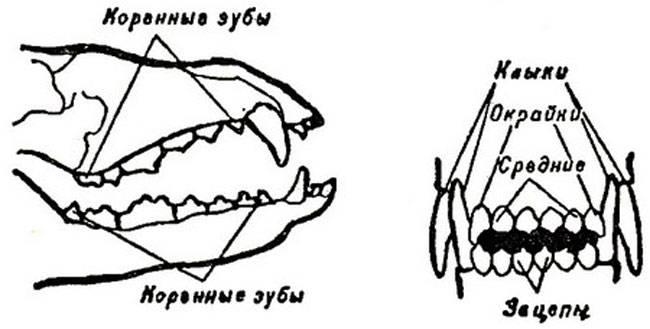 Учимся разбираться в зубных формулах: виды и их расшифровка