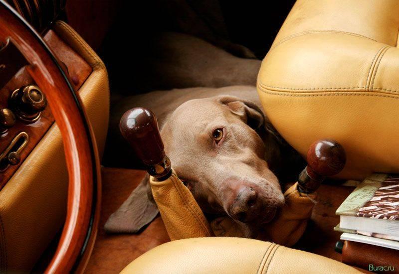Собаку укачивает в машине - что делать?