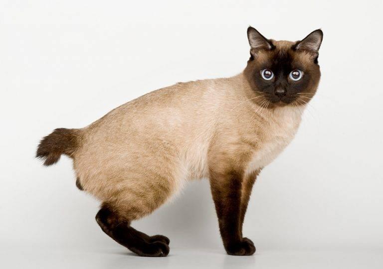 Меконгский бобтейл: фото кошки, цена, характер породы, описание, видео меконгский бобтейл: фото кошки, цена, характер породы, описание, видео
