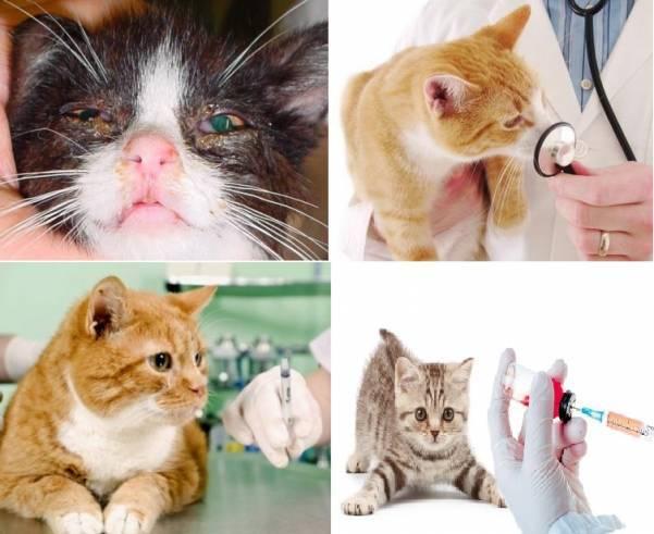 Пути заражения токсоплазмозом:как передаётся болезнь от кошки, собаки, человека?