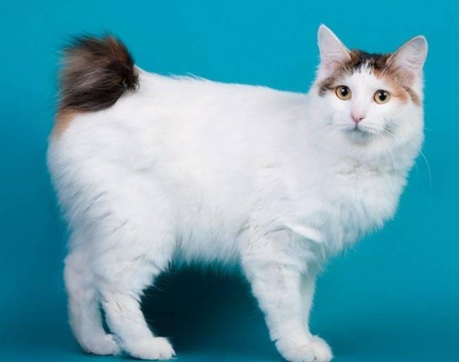 Японский бобтейл: описание породы и характера кошек, уход и содержание, кормление