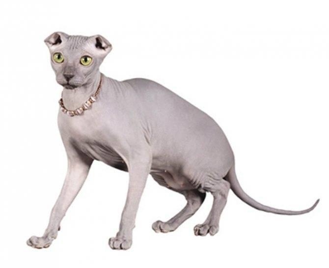 Описание и характер кошек породы украинский левкой, основы ухода