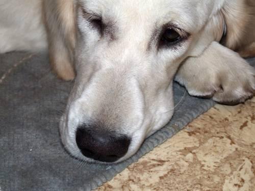 Почему у собаки горячий нос: возможные причины