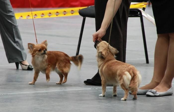 Какая порода собак лучше шпиц или йоркширский терьер