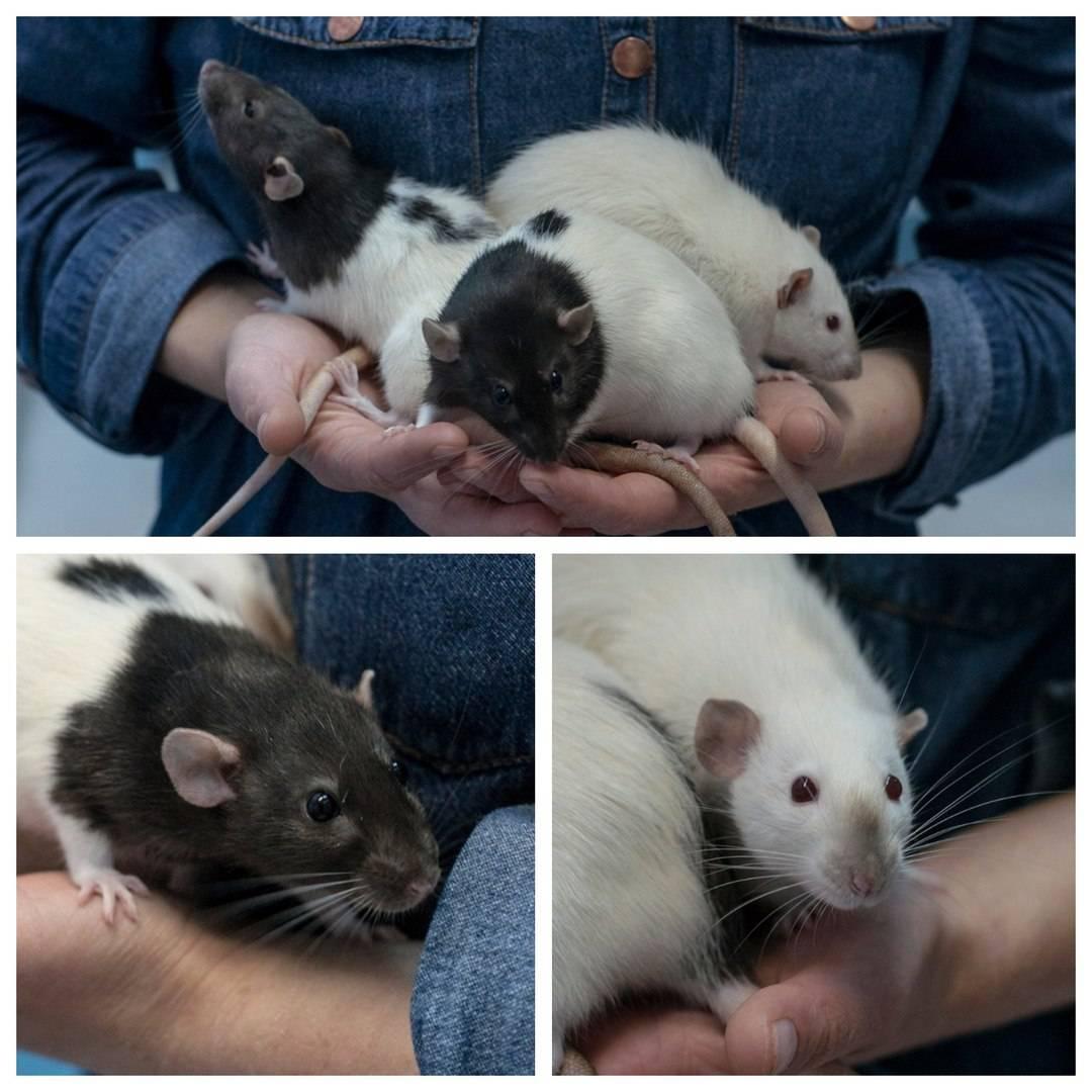 Декоративная крыса: уход и содержание, сколько живут, чем кормить и другая информация
