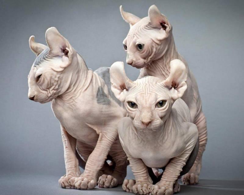 Как ухаживать за сфинксом: рекомендации владельцам бесшерстных котов