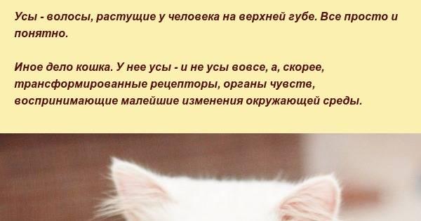 Зачем кошке усы и можно ли их стричь: интересные факты