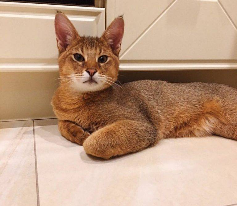 Каракет (порода кошек)